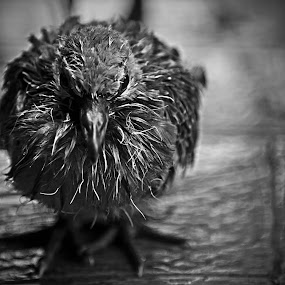 The cold and wet Angry Bird by Ivan Lim - Black & White Animals ( one, young, concrete, eyes, mamals, bird, daytime, cold, birdy, black and wet, floor, solo, outdoor, legs, day, wet, small, lonely, alone, animal )