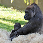 Western Lowland Gorilla (Female)