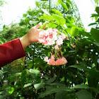 """Begonia """"Dragon Wing"""": Pink"""