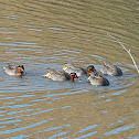 Eurasian Teal(Common Teal)