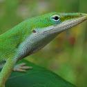 Carolina Green Anole Lizard