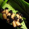 Larvas de escarabajo