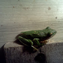 North American Green Treefrog