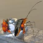 Banner or leaf footed bug