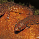 Shovel-nosed Salamander (on right)
