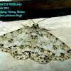 Geometridae, Enominae