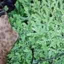 Meadow spikemoss