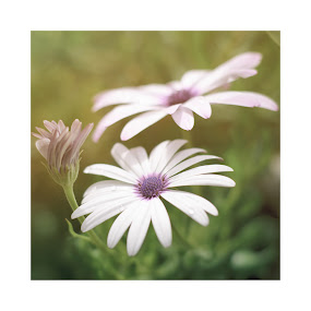 Haze by Ricardo Rocha - Flowers Flowers in the Wild ( haze, purple, flower )