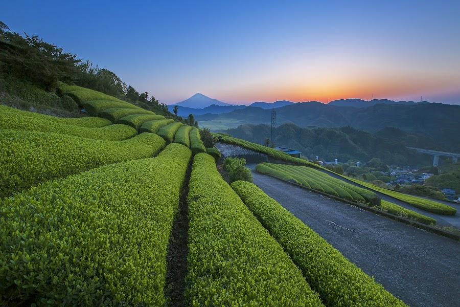 Lost in Farm Tea by Bertoni Siswanto - Landscapes Mountains & Hills ( fuji mountai, mountain & hills, sunrise & sunset, bertoni siswanto, landscape, tea farm )