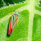Blue and Red Leafhopper