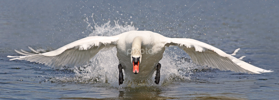 Furious attack by Mia Ikonen - Animals Birds ( mute swan, male, finland, attack, aggressive,  )