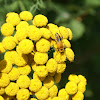 Goldenrod Soldier Beetle