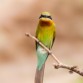 Blue-tailed Bee-eater by Sahad Siddique - Animals Birds ( bird, nautre, blue-tailed bee-eater, bee-eater, animal )