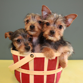 Yorkie Sibs by Sharon Scholtes - Animals - Dogs Puppies ( canine, puppies, three brown, red, yorkies )