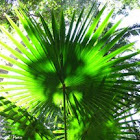 Anáhaw, Footstool palm