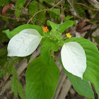 White Mussaendra/Bangkok Rose