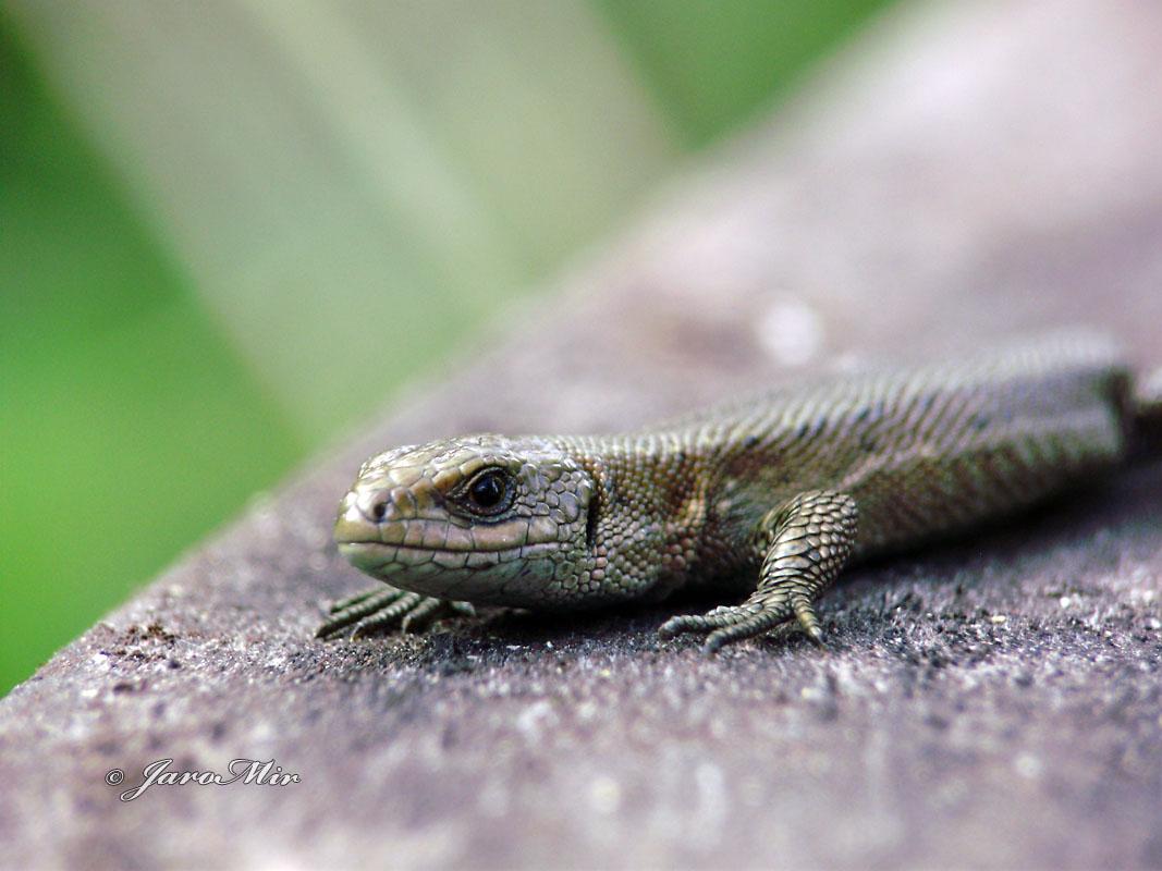 Viviparous lizard, Jaszczurka żyworodna