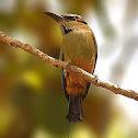 Turquoise-browed Motmot (Bobo, pájaro bobo, momoto cejiceleste)