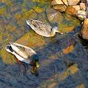 mallard, wild duck