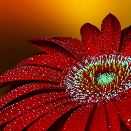 Radiant beauty by Biljana Nikolic - Flowers Single Flower ( center of flower, mood-lites, red flower, moods, colorful, happiness, bulbs, yellow, vibrant, red, inspiration, lighting, color, january, emotions, red gerbera, light, mood factory )
