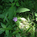 Wild Carolina Petunia