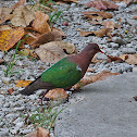 Green-winged Pigeon or Emerald Dove