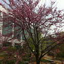 Flowering cherry (?)