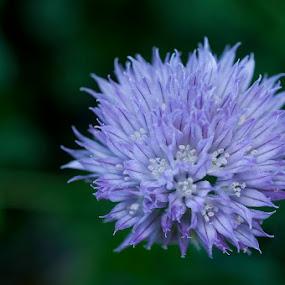 Chives by Lisa Wessels - Flowers Single Flower ( macro, purple, herb, chives, garden )