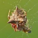 Starbellied orbweaver (female)