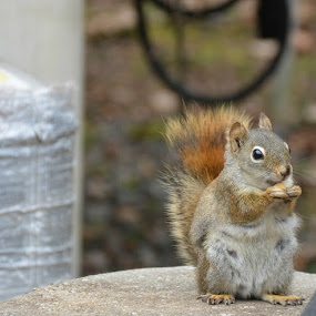 squirrel by Char Robertson - Animals Other ( critter, eating, cute, posing, squirrel )