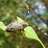 Longicorn beetle