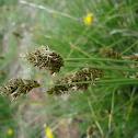 Carex sp.
