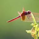 Crimson Marsh Glider or Crimson Dropwing (Male)