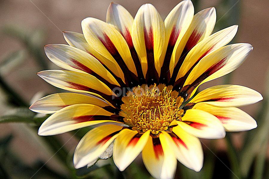 by Subho Saha - Flowers Single Flower