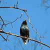 European Starling (Common Starling)