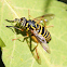 syrphid fly large tiger striped