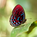 Malay Red Harlequin