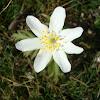 Seven petals Wood anemone / Šumarice 7latica
