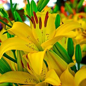 Surprise Lily by Hugh Hazelrigg - Flowers Flower Gardens ( nature, flora, horticulture, garden, flower, , Flowers, Flower Arrangements )