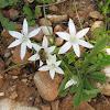 Pyrenees Star Of Bethlehem