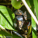 Eastern box turtle (male)