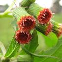 ebolo, thickhead, redflower ragleaf or fireweed,