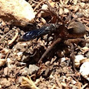 Wolf Spider attacked & paralized