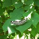 Pallas' Sailer Butterfly