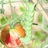 Tomato Worm