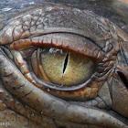 Saltwater Crocodile - Juvenile