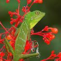 Green Crested Lizard