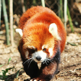 Red Panda by Andy Bond - Animals Other Mammals ( red, panda, red panda, mammal, animal )