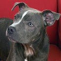 Pit Bull Dogs Live Wallpaper icon