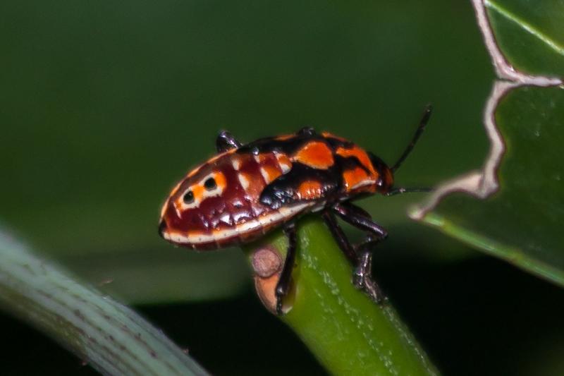 Lygaeid Bug Nymph